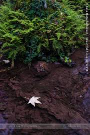 Acer e fetos | Acer and fern