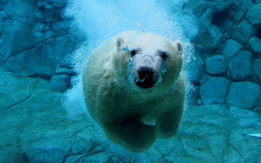 diving-polar-bear_w520