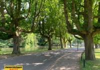 Kastanjebomen excercitieveld Woerden gaan sneuvel