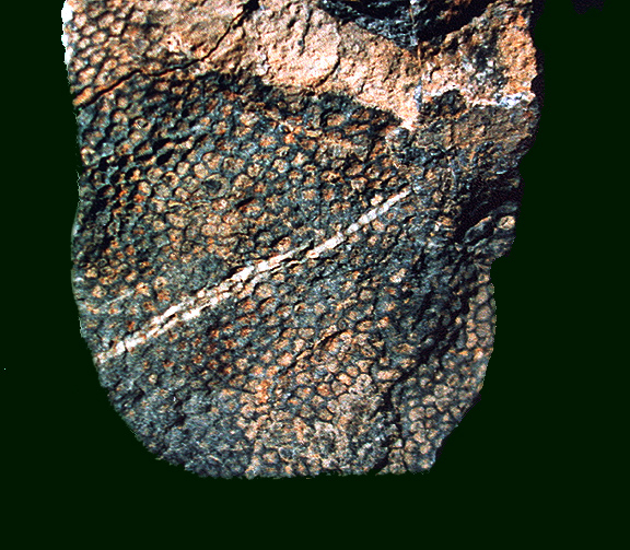 Fossil Coral From Coral Reef Canyon Nevada