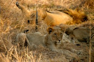 Famiglia di leoni al Madikwe Game Reserve