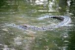 Coccodrillo sul fiume Zambezi - Cascate Vittoria - Zimbabwe