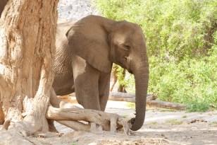 Elefante Damaraland