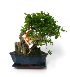 bonsai pret zelkova