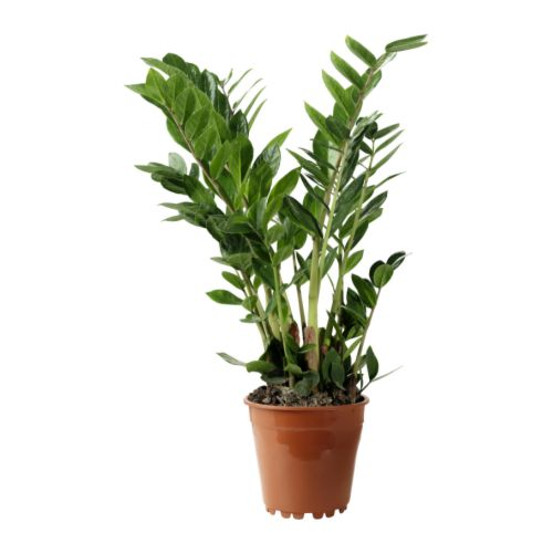 zamioculcas top 5 plante pentru lenesi