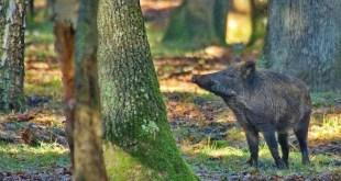 Basilicata selecontrollo del cinghiale Programma operativo 2016 sulla fauna selvatica