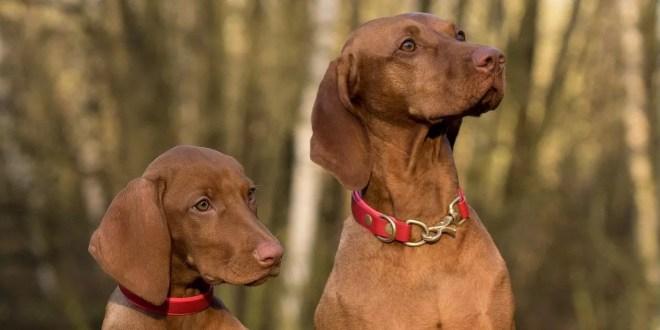 Le principali malattie di origine virale del cane