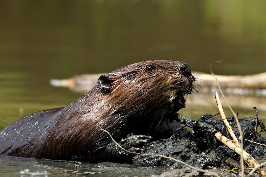 Busy Edmontonian Beavers