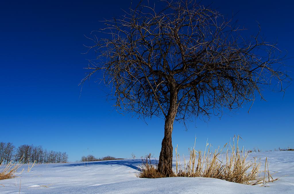 Northern Joshua Tree