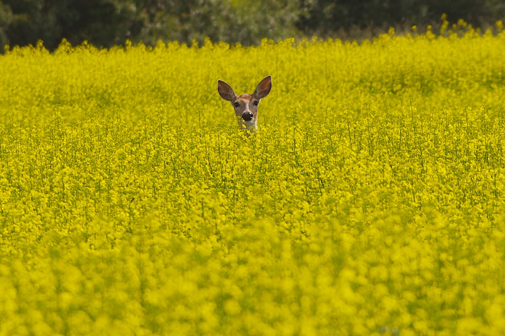 White-Tailed Deer in Canola Field, Alberta