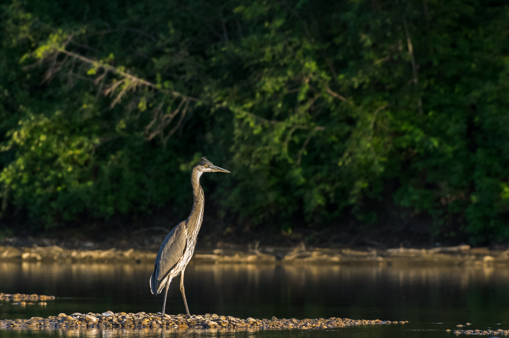 Blue Heron, North Saskatchewan River