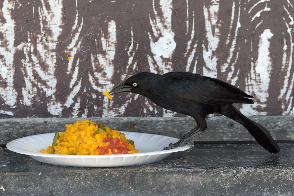 A bird enjoying the rice of the day at our resort.