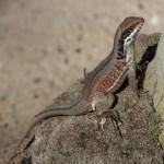 Cuban Curly Tail Lizard