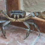Cuban Crab