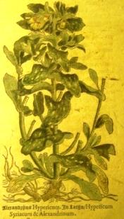 Prent van Hypericum uit het boek Kruydtboeck de Mathias de l'Obel 1576