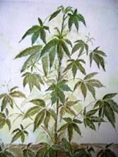 Cannabis thee bij MS, chronische pijn en spasmen. Cannabis door M.P.H.Keppel Hesselink van Blommestein