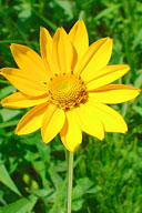 Native wildflower Ox-eye Sunflower Heliopsis helianthoides