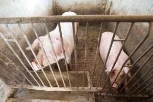 verri, melanzio, eumeo, odisseo, varrone, catone, carne suina, insaccati, macellazione maiale, sant'antonio maiale, cerere, demetra, divin porcello, porcus, sus, belloveso, scrofa semilanuta, porco, verro, maiale, suino, castrato, animale sacro immondo, benveniste, rogo sant'antonio, stemma treviglio, Abate con l'attributo del maialino