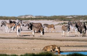 zebras-610x395