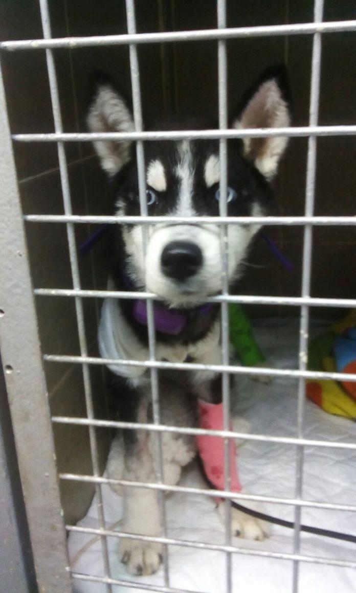PetPace-PRAA-Case-Study-Puppy-Patient-Kira
