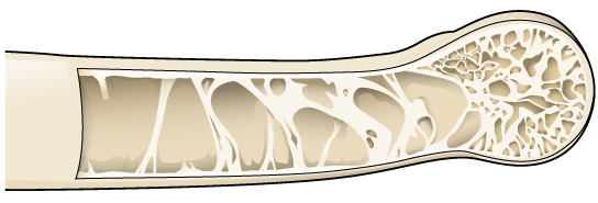 Bird bone