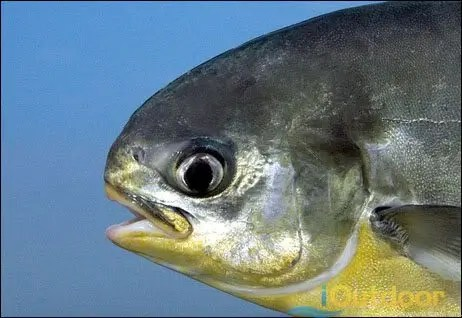 Pompano fishing for Florida pompano fish