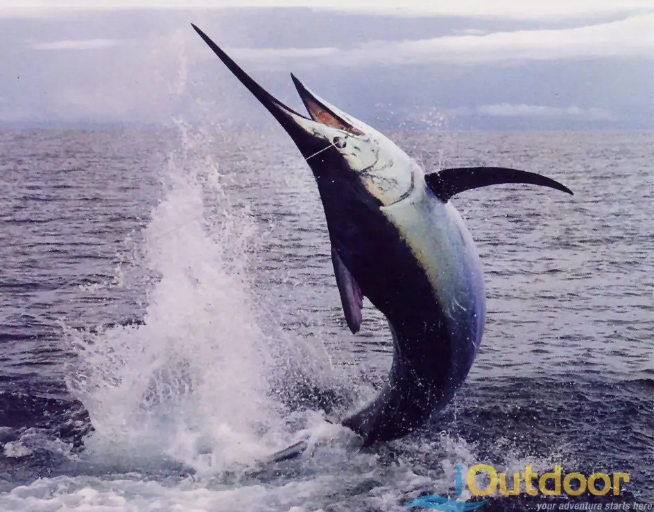 Marlin Fishing in Florida