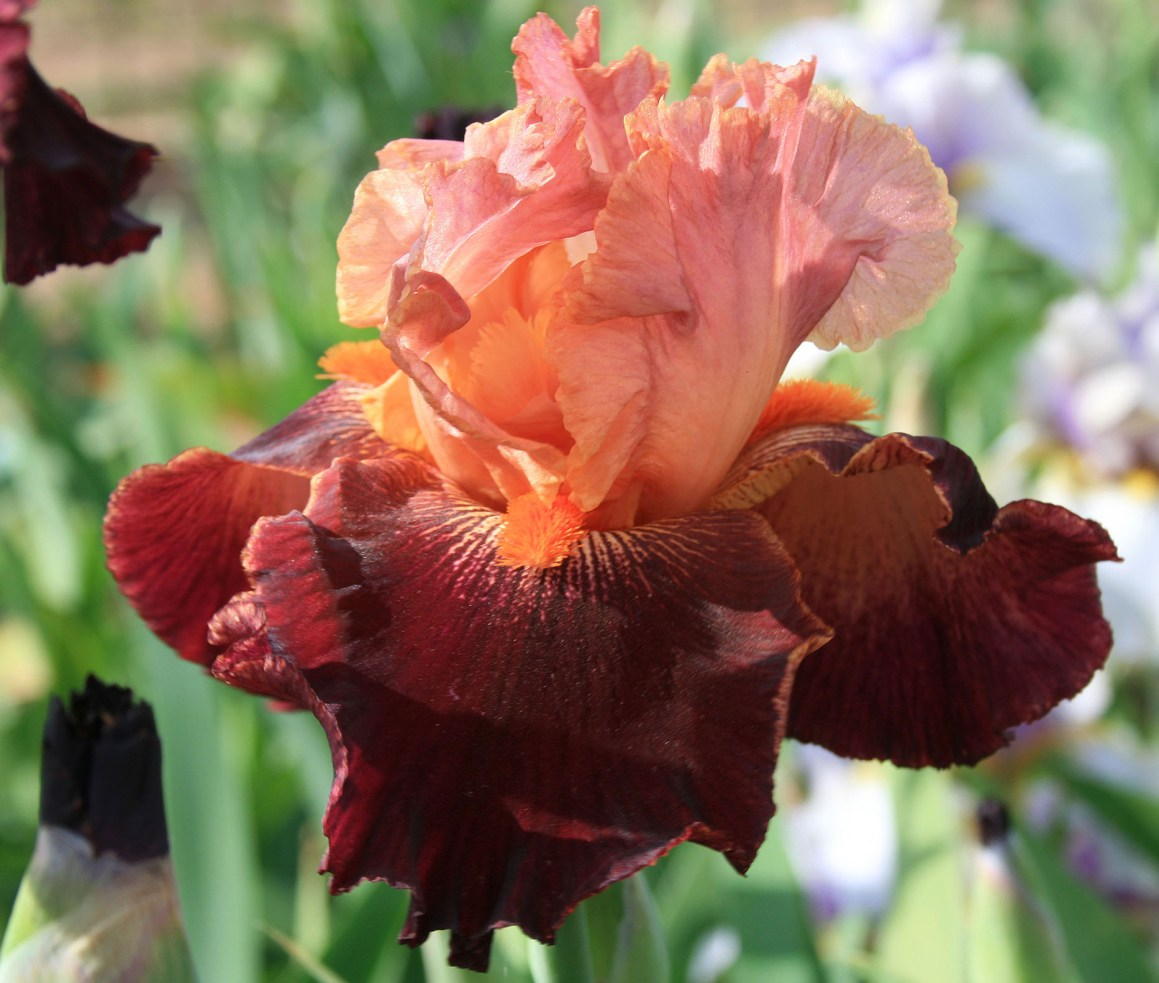 Iris, Peony and Unique Plant Sale – Saturday and Sunday