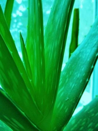 Aloe Vera | Adrian White, Iowa Herbalist