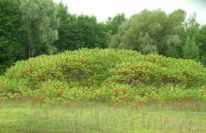 Sumac Stand | Iowa Herbalist