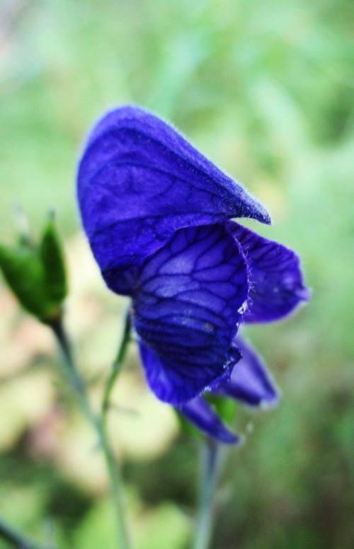 Northern Blue Monskhood | Iowa Herbalist