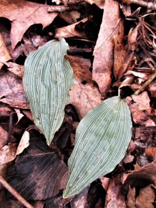 Adam and Eve Orchids Iowa | Iowa Herbalist