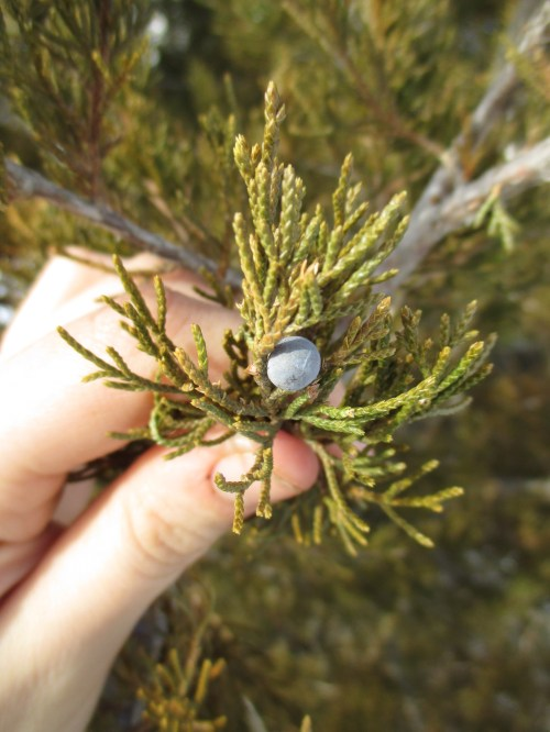 Eastern red cedar - and cedars of all kinds - have been used for health in herbalism for thousands of years. Learn more about cedar in herbalism here.