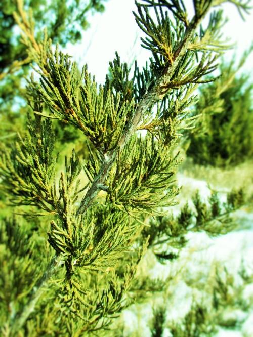 Cedar Branches | Iowa Herbalist