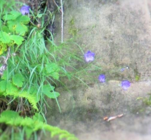 Wild Harebells | Iowa Herbalist