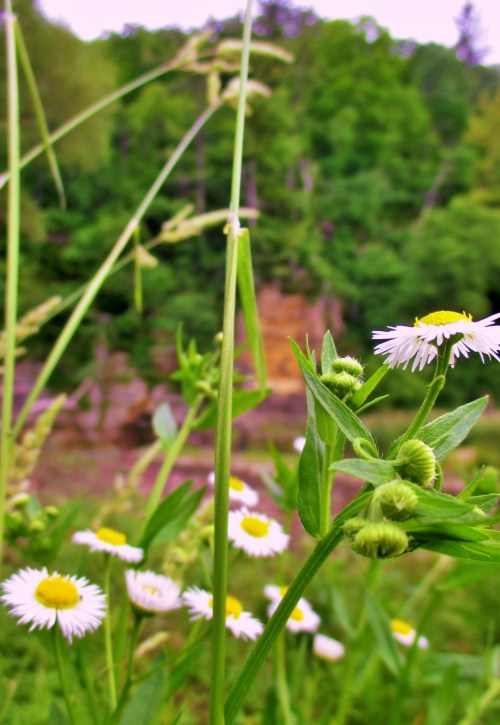 Fleabane Paint Creek Iowa | Iowa Herbalist