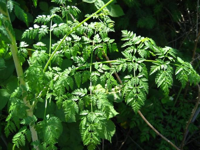 Poison Hemlock | Iowa Herbalist