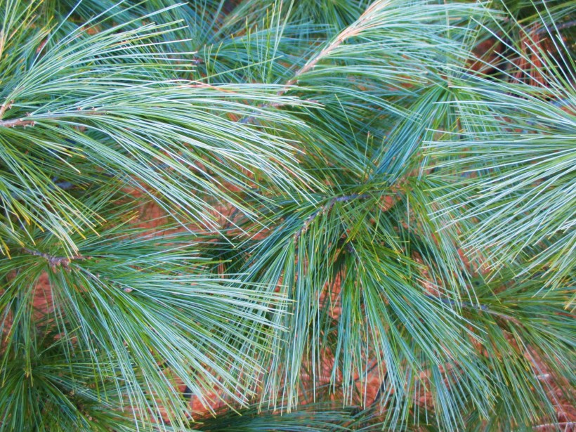 White Pine Needles | Iowa Herbalist