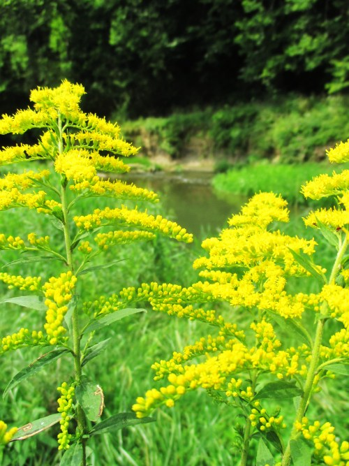 Goldrenrod Flowers Driftless Iowa | Iowa Herbalist