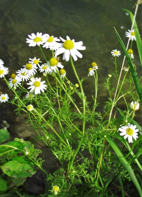 Wild Chamomile | Iowa Herbalist