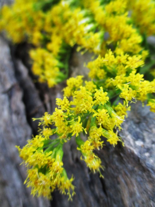 Goldenrod Blossoms in Beet and Peach Shrub | Deer Nation Herbs