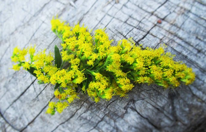 Goldenrod Flowers | Deer Nation Herbs