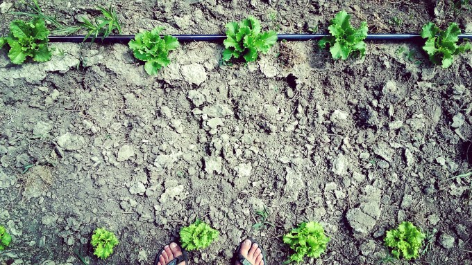 Lettuce Babies | Jupiter Ridge Farm