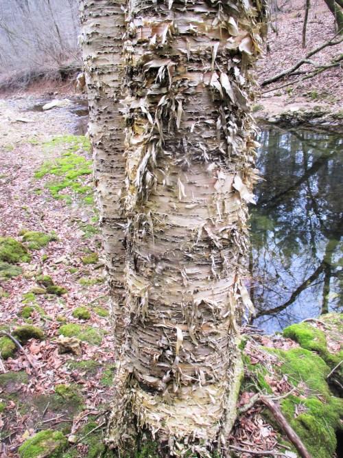 Wild Yellow Birch Iowa | Iowa Herbalist