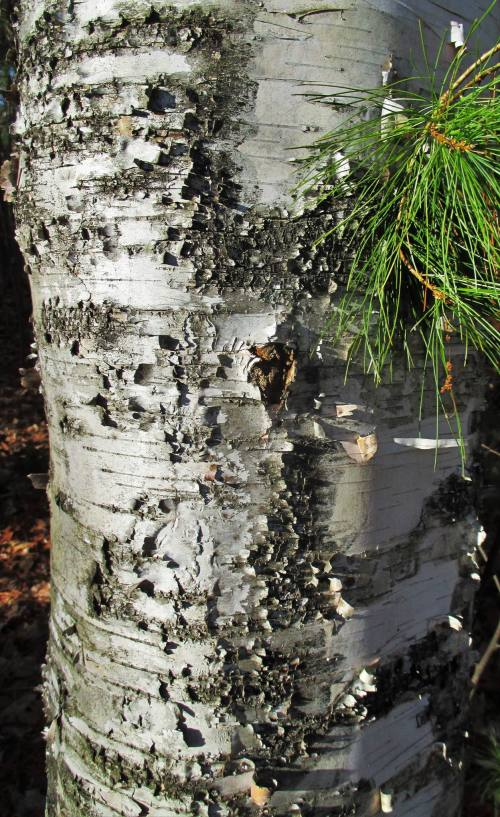Paper Birch | Iowa Herbalist