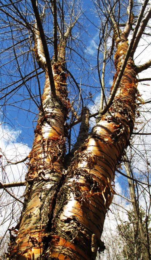 Yellow Birch Tipton Iowa | Iowa Herbalist