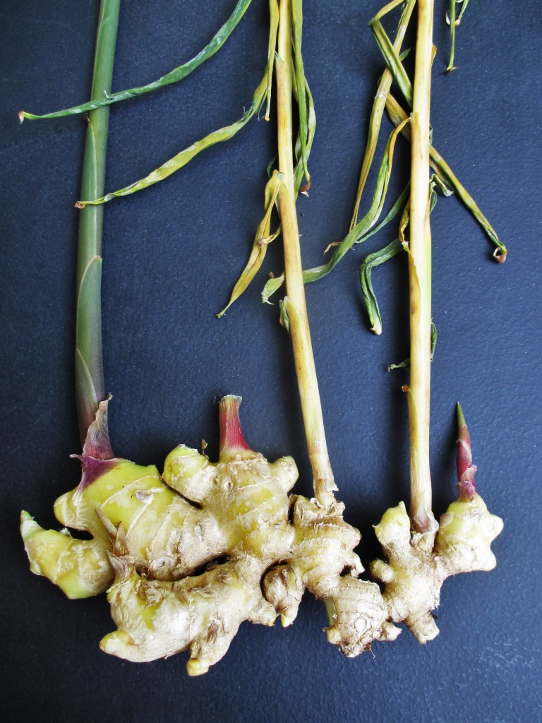 Harvested Homegrown Ginger | Jupiter Ridge Farm