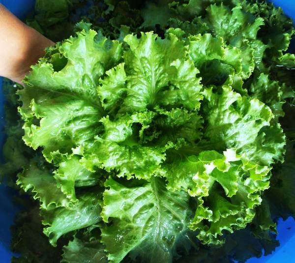 Green Head Lettuce | Jupiter Ridge Farm