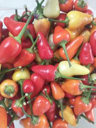 Aurora Chili Peppers | Iowa Herbalist