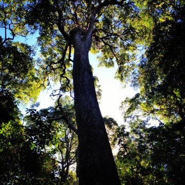 Very tall trees in the rainforest walk